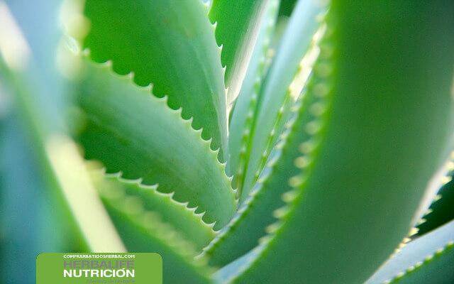 Aloe vera herbalife bajar de peso